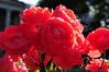 Roses in garden of Imperial War Museum - London
