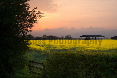 "Field of rapeseed, Rugby, England.  The word ""rape"" in rapeseed comes from the Latin word ""rapum,"" meaning turnip; the plants are used to make canola oil."