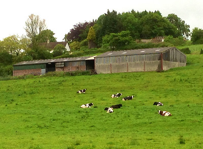 Cows sitting in the field, a sure sign of rain!
