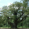 "Sherwood Forest - ""The Royal Oak"" where Robin Hood used to gather with his merry men.<br /> The base of the tree is 33 feet<br /> The tree is around 1,150 years old.<br /> The tree weighs around 23 tons."