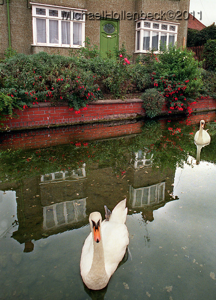 Swans at Castle Cary, Somerset, England.  August 1990