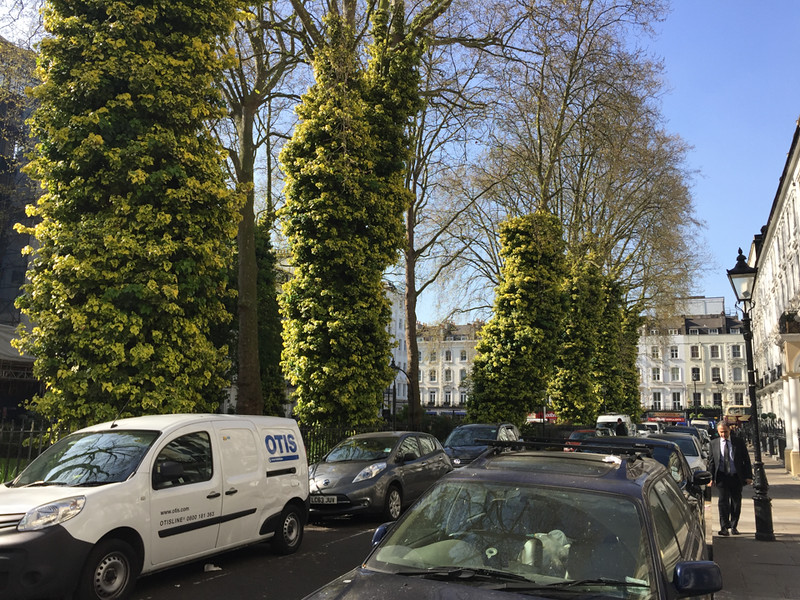 Norfolk Square, Paddington, London. <br /> <br /> These trees are covered in crawling Ivy!