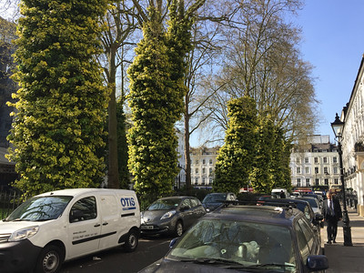 Norfolk Square, Paddington, London.   These trees are covered in crawling Ivy!