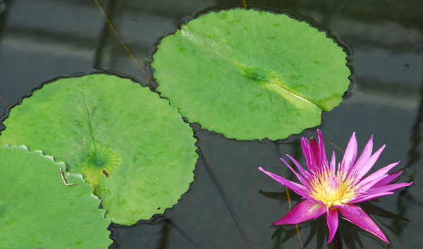 Lily pond in Kew's Princess Di house.