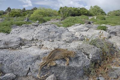 South Plaza dead iguana
