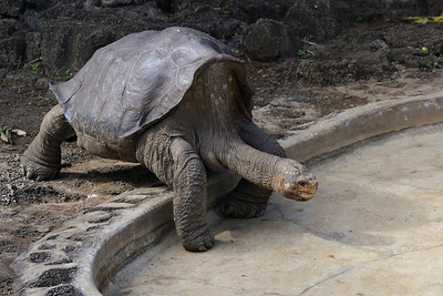 Lonesome George - the last of his species.