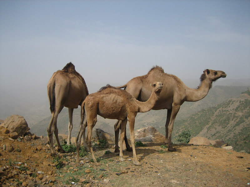 Camels are a common sight