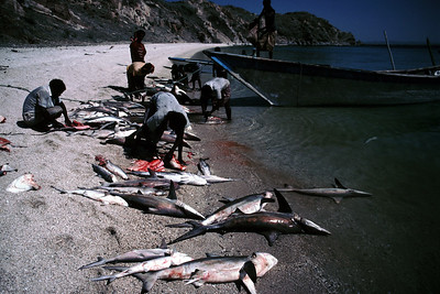 Shark finning in Eritrea