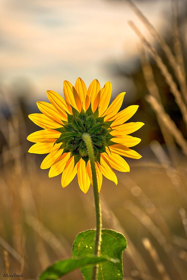 Sunflower Back Ligting