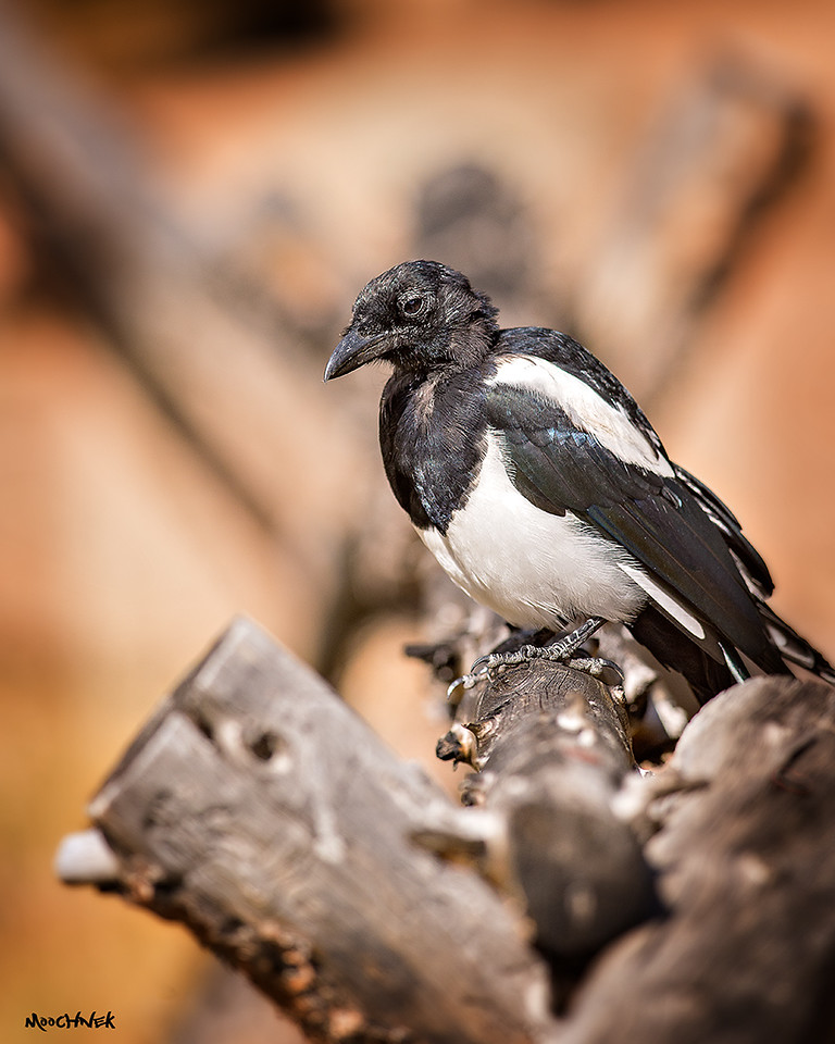 Just a Magpie