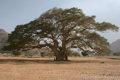 36 Voettocht naar Maryam Papaseyti  Darow (Reuze Ficus)