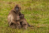 Female and Suckling Baby Gelada aka Bleeding-heart Monkey