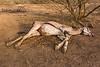 East African Oryx aka Beisa Carcass