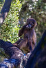 Young Gelada aka Bleeding-heart Monkey