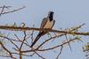 Namaqua Dove aka Long-tailed Dove