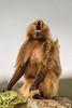 Male Gelada aka Bleeding-heart Monkey Yawning
