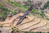 Adult Lammergeier aka Bearded Vulture