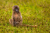 Young Gelada aka Bleeding-heart Monkey