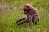 Gelada aka Bleeding-heart Monkey