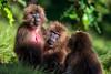 Gelada aka Bleeding-heart Monkey