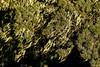 Beard Lichen on Heather Tree