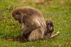 Female and Baby Gelada aka Bleeding-heart Monkey