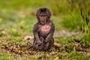 Baby Gelada aka Bleeding-heart Monkey