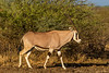 East African Oryx aka Beisa
