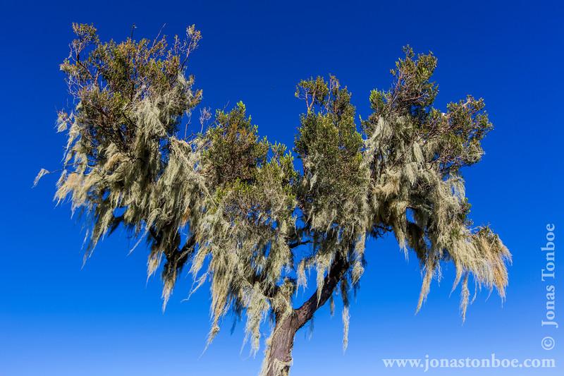 Heather Tree Covered in Beard Lichen