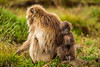 Female and Baby Gelada aka Bleeding-heart Monkey