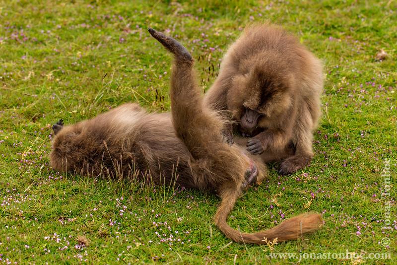 Gelada aka Bleeding-heart Monkey Grooming