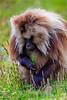 Male Gelada aka Bleeding-heart Monkey