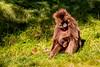 Female Gelada aka Bleeding-heart Monkey