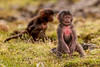 Baby Gelada aka Bleeding-heart Monkey