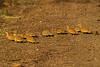 Chestnut-bellied Sandgrouse