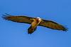 Lammergeier aka Bearded Vulture