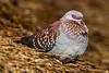 Speckled Pigeon aka Guinea Pigeon