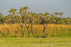 East African Doum Palm Trees