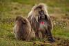 Male and Female Gelada aka Bleeding-heart Monkey Grooming