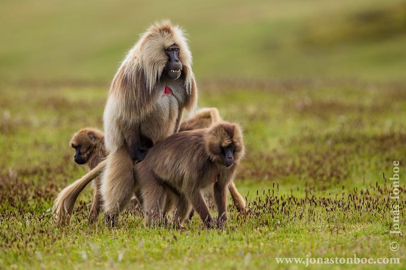 Gelada aka Bleeding-heart Monkey Mating