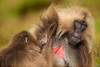 Gelada aka Bleeding-heart Monkey Grooming
