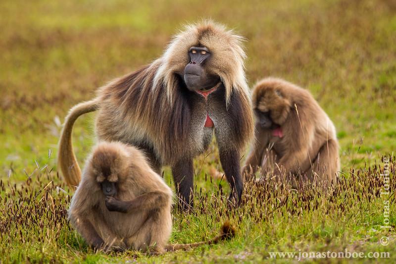 Male and Female Gelada aka Bleeding-heart Monkey
