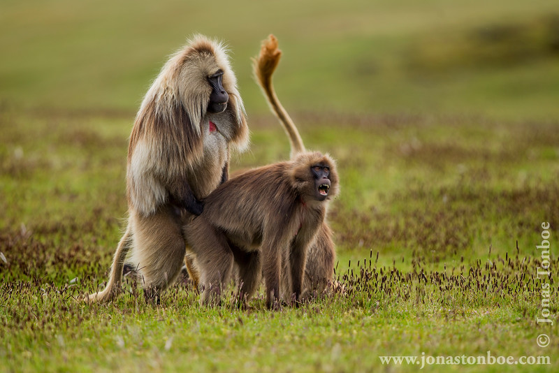 Gelada aka Bleeding-heart Monkey Mating