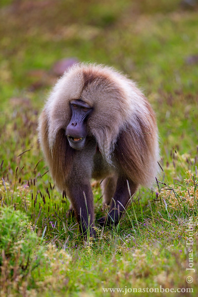 Male Gelada aka Bleeding-heart Monkey