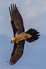 Adult Lammergeier aka Bearded Vulture