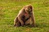 Female and Suckling Gelada aka Bleeding-heart Monkey