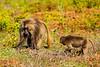 Male and Young Gelada aka Bleeding-heart Monkey