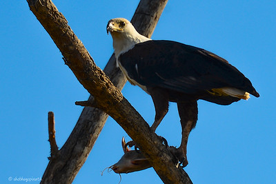 Fish eagle with catfish meal