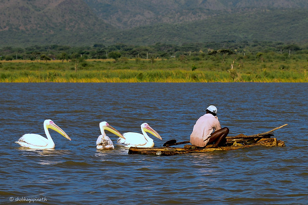 The Fisherman and the Pelicans