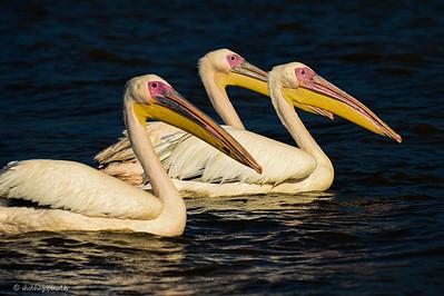Pelicans, Lake Chamo